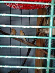 Kanarienvögel Weibchen Gelb