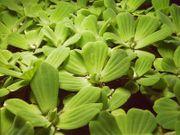 Verkaufe Muschelblumen