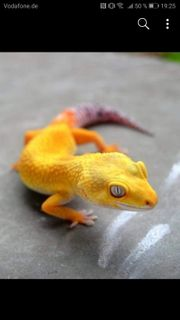 Leopardgeckos Lemmon Frost