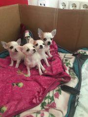 Wunderschöne reinrassige Chihuahua