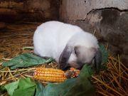 Zahn-Kaninchen Kastriert