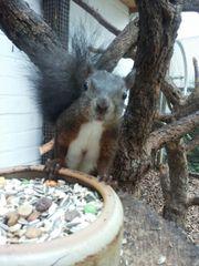 Junge Eichhörnchen geb.