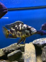 1 1 Nimbochromis livingstonii Malawi