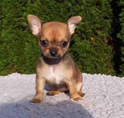 XXs Chihuahua Welpen
