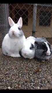 Zwergkaninchen Kaninchen Castor Rex Farbenzwerge