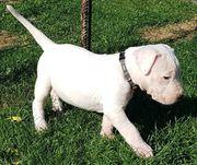 Dogo Argentino Welpen zu verkaufen