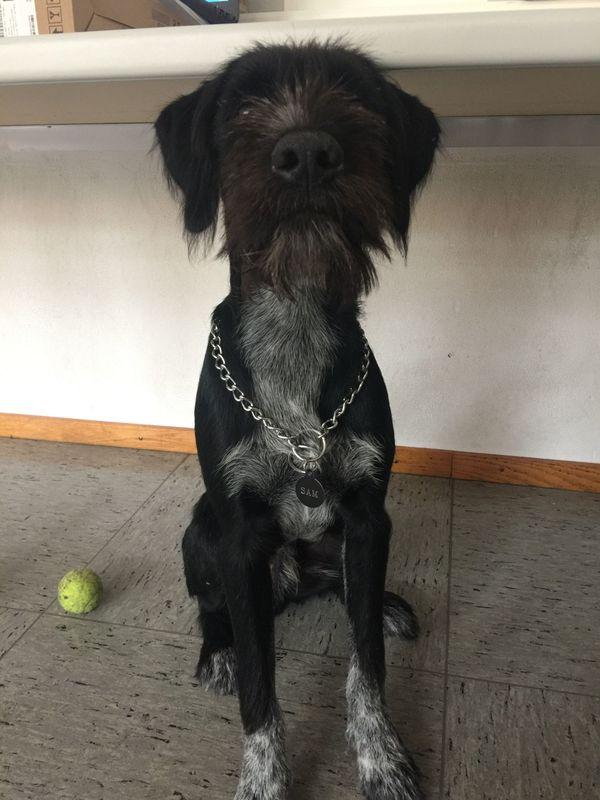 Sam (Deutsch Drahthaar mix) in Lüdinghausen - Hunde kaufen und ...