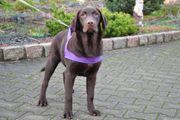 Schoko Labrador Junghunde