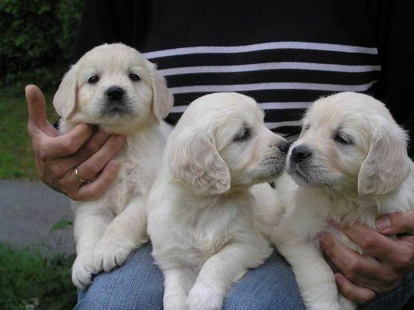 Golden Retriever Welpen » Hunde