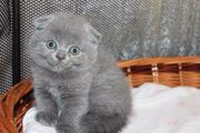 Scottisch Fold Katzenbabys