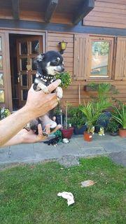 Süsse Chihuahua mini