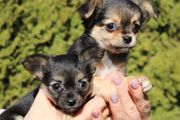 Chihuahua Welpen Teacup