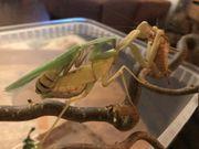 Sphodromantis lineola Gottesanbeterin Mantis NZ