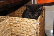 BKH Babykatzen, Kitten