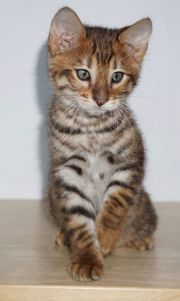 Exlusive Toyger Kätzchen