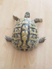 Landschildkröten Männchen mit