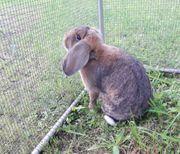 Deutsche Kleinwidder Kaninchen