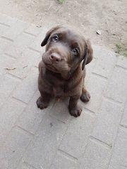 Labrador Mädchen sucht immer noch