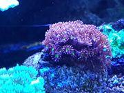 korallen meerwasser Korallenableger