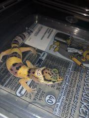 Leopardgecko Weibchen NZ18