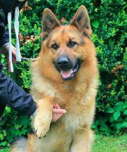 Deutscher Schäferhund sucht