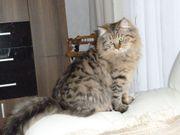 Reinrassige Sibirische Katzenbabys