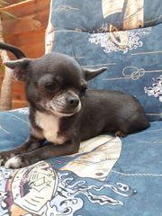 Chihuahua Mädels