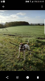 Liebe Boxer- Whippet