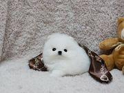 Sehr hübsche reinrassige Pomeranian Zwergspitz