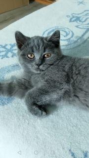 BKH Kitten abgabebereit weiss fold