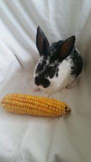 Blaurex Widder Kaninchen
