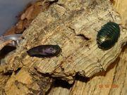 Corydidarum magnifica Smaragdschaben
