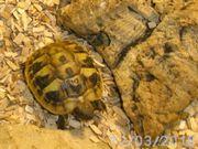 Griechische Landschildkröten Baby`