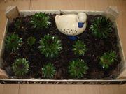 Steingartenpflanze Hauswurz Dachwurz Sempervivum Deko