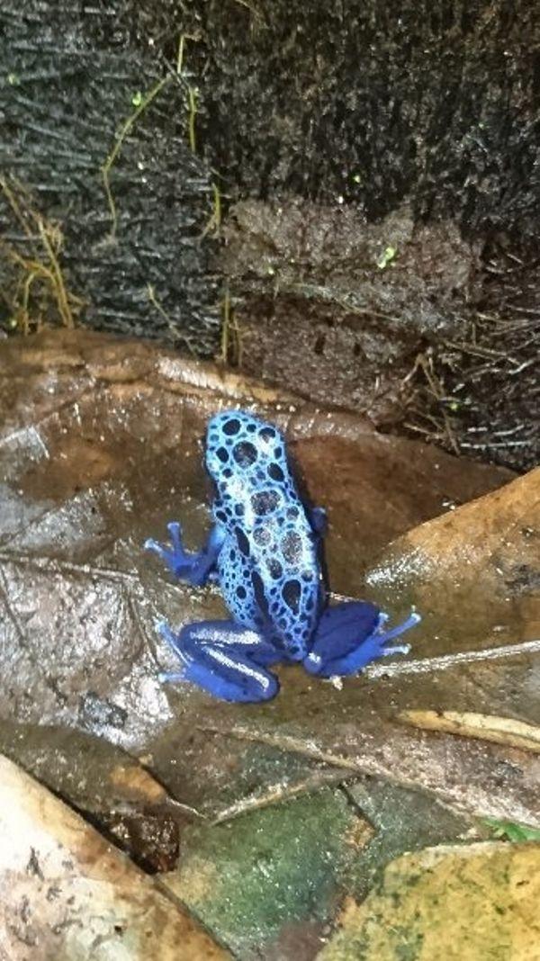 Frösche zu verkaufen » Reptilien, Terraristik