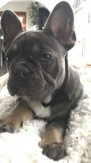 Französische Bulldogge Blue tan 6