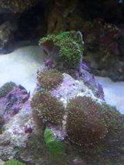Meerwasser Koralle rhodactis