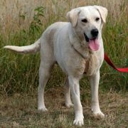 Lila 6 Jahre - Labrador-Mix - Tierhilfe