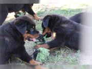 Rottweiler Welpen zu verkaufen Rottweiler