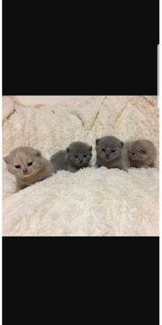 Kätzchen BKH
