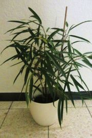 Glücksfeder, Yuccapalme, Dieffenbaia,