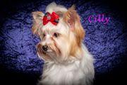 Mini-und Standard Yorkshire Terrier