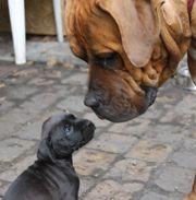 9 Bullmastiff - Dogo