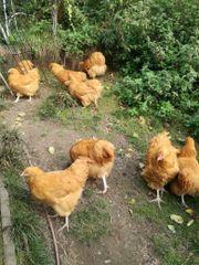 Orpington Hühner und