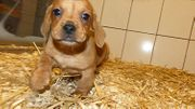 Dackel X Puggle Beagle-Mops Mischling