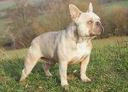 DECKRÜDE Französische Bulldogge lilac sable