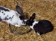 Kaninchen, Hase, Zwergkaninchen,
