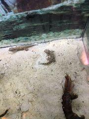 Dünnfingergecko lat Stenodactylus sthenodactylus 39EUR