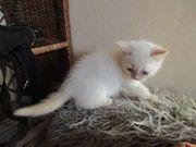 Hübsche Siam mix Kitten