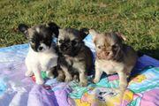 Liebenswerte Chihuahua Welpen suchen ihr